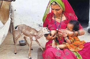des femmes en inde qui allaitent les gazelles les bishno s le mangeur ocha. Black Bedroom Furniture Sets. Home Design Ideas